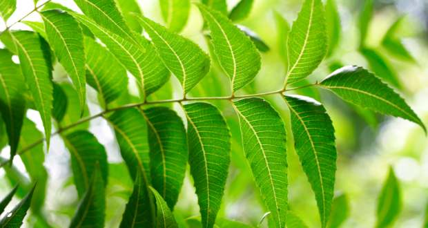 neem leaves to remove dandruff