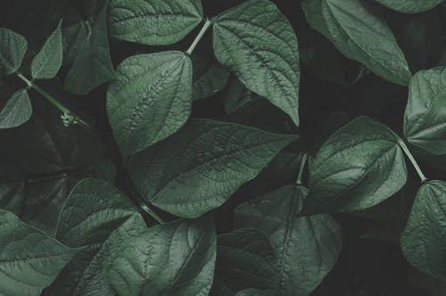 kartom-leaves