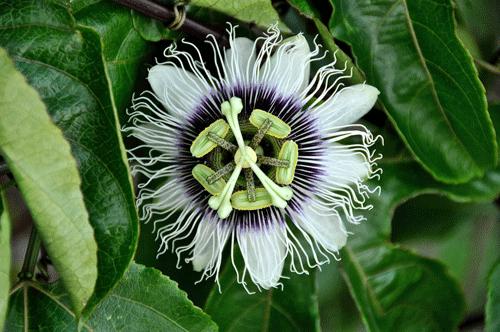 passion-flower