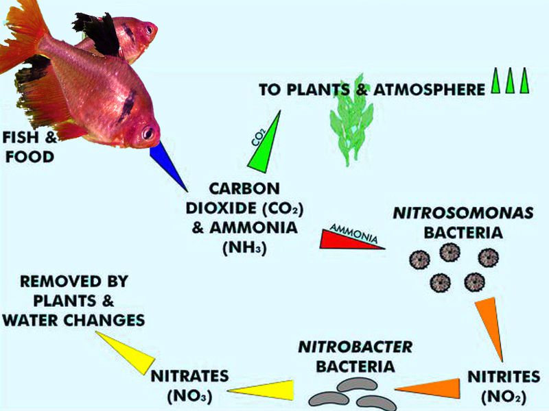 nitrogen-cycle-aquarium
